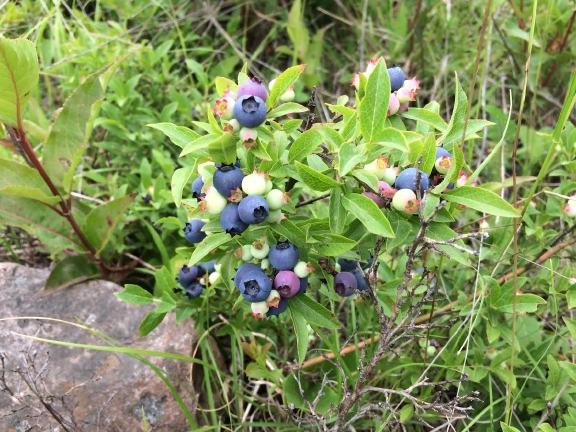 Blueberries7_22_17.jpg