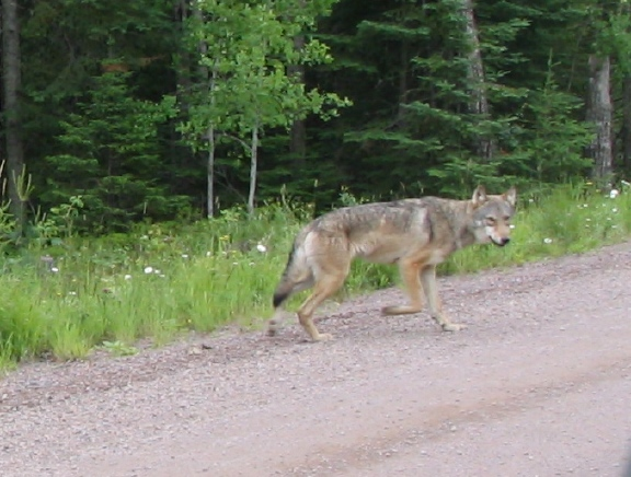 Roadwolf7_22_2009.jpg